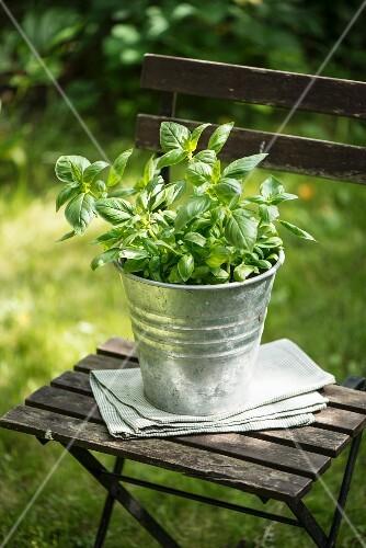 Basil in a metal flowerpot on a wooden stool in the garden