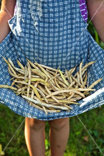 A girl holding freshly picked beans in her apron