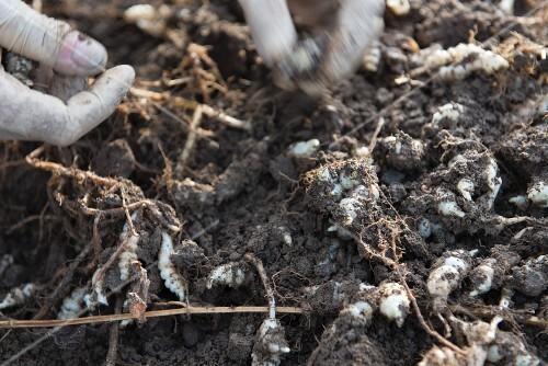 Digging up Japanese artichoke