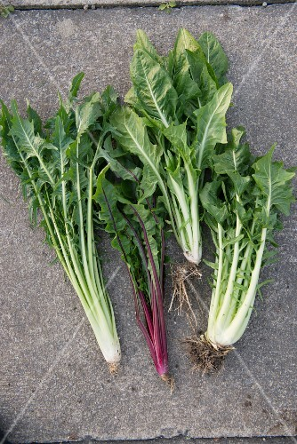Different varieties of catalogna chicory
