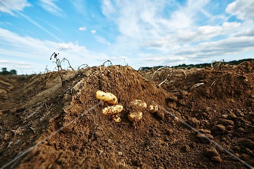 Potatoes in the ground in a field