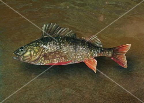 Ray-Finned Fish,Illustration