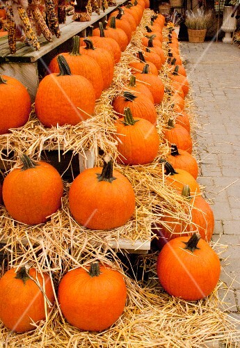 Long rows of pumpkins for sale at a pumpkin farm