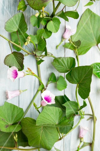 Sweet potato leaves and flowers