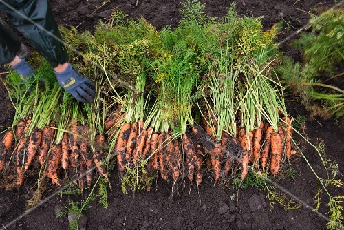 Freshly harvested organic carrots lying on a field
