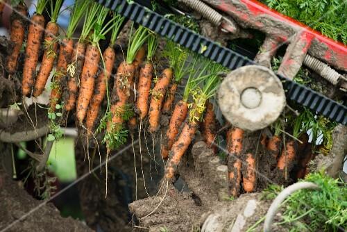 Mechanised carrot farming