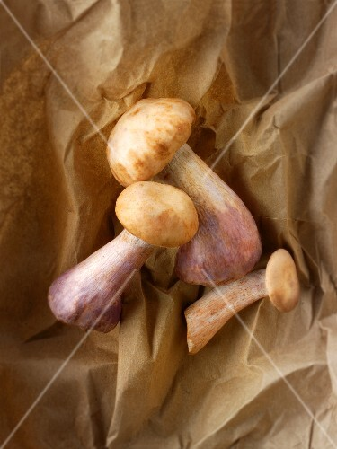 Freshly picked Pied Bleu mushrooms on paper