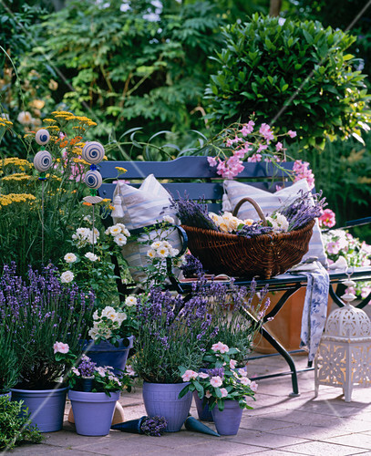 lavandula angustifolia siesta bild kaufen. Black Bedroom Furniture Sets. Home Design Ideas