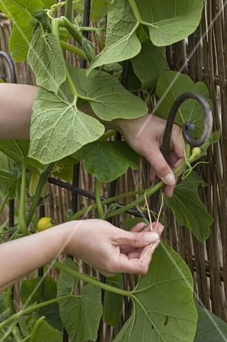 Etwas Neues genug Kürbis in Kübel mit Rankhilfe pflanzen … – Bild kaufen - 12157779 &EA_23