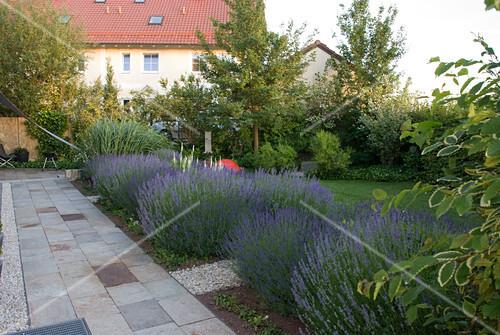 gro e lavendel b sche lavandula im beet an der terrasse bild kaufen friedrich strauss. Black Bedroom Furniture Sets. Home Design Ideas