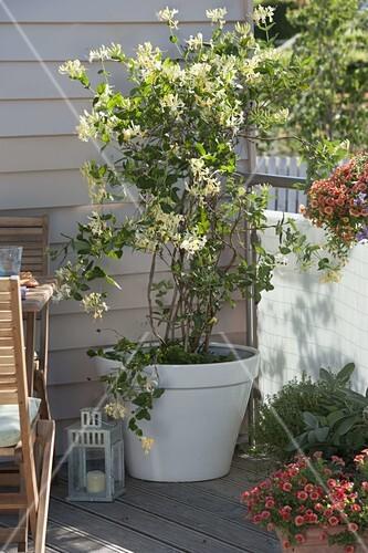 Gemeinsame Lonicera caprifolium (Geißblatt) im … – Bild kaufen - 12187411 #SH_72