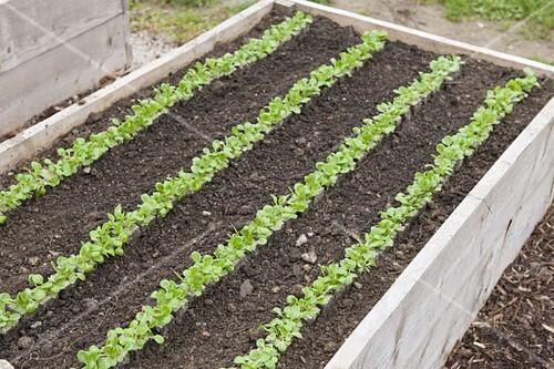 Feldsalat Ins Hochbeet Pflanzen Bild Kaufen 12190581