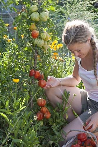 In Die Likebox Legen. Aus Der Likebox Entfernen. In Den Warenkorb Legen.  12197231. Beet Mit Tomaten Und Ringelblumen Im Biogarten Anlegen