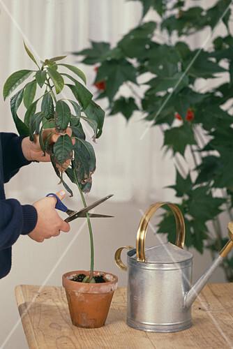 avocado pflanze schneiden. Black Bedroom Furniture Sets. Home Design Ideas