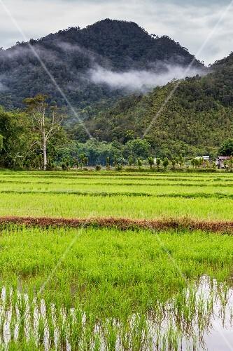 Rice fields (Bario, Sarawak, Malaysia)