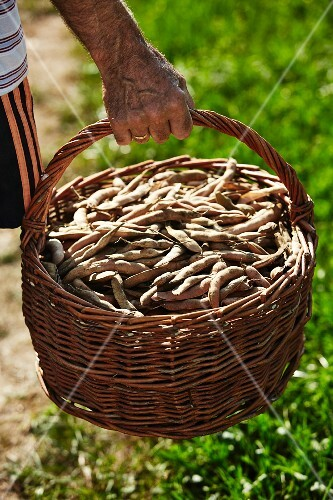 A man carrying a basket of kidney-shaped, Austrian Scarlet Runner beans
