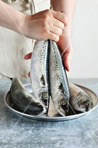 Female hands holding two fresh mackerel fishes