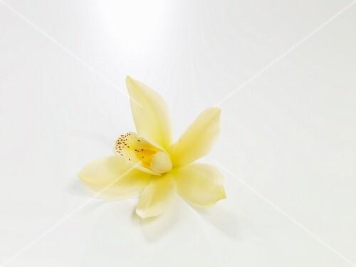 Vanilleblüte auf weissem Untergrund