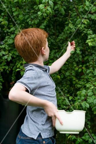 Junge pflückt Pflaumen von einem Baum