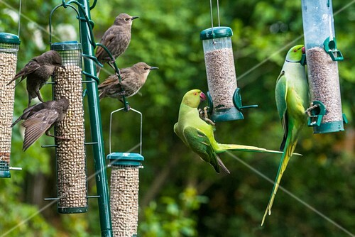 Ring-necked parakeets and starlings on bird feeders