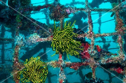 Crinoids on an artificial reef