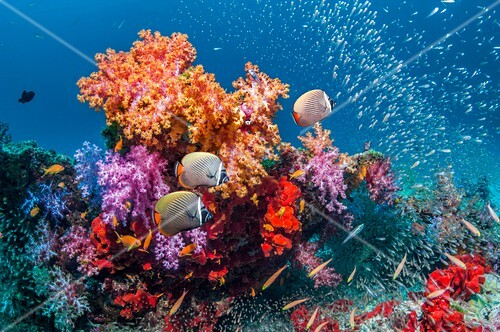 Butterflyfish and soft corals on a reef