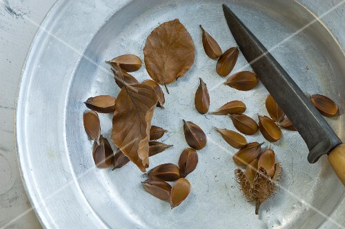 Beech seeds (Fagus sylvatica) on a metal plate with a knife and autumn leaves