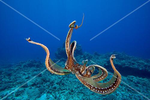 Day Octopus (Octopus cyanea),Hawaii,USA