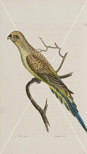 Undulated parakeet,artwork