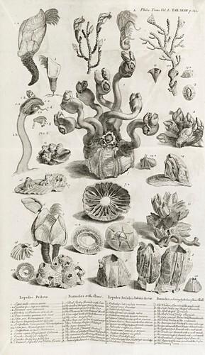 Barnacles,18th century