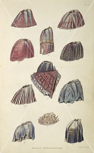 Balanidae barnacles,artwork