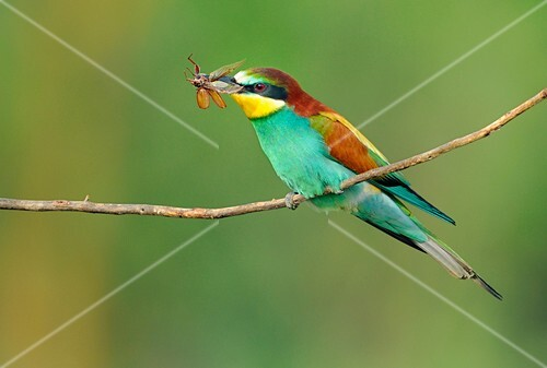 European bee-eater with an insect