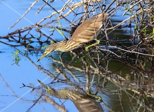 Indian pond heron hunting