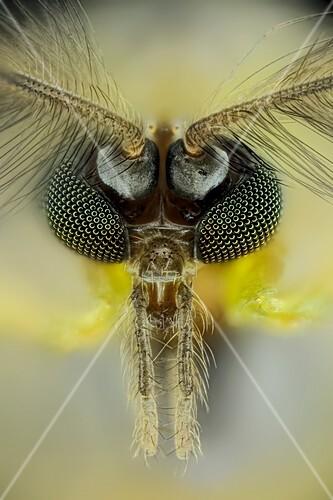 Midge head,light micrograph
