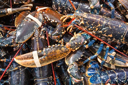 Lobsters caught off Craster