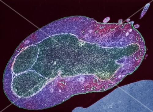 Malaria parasite,TEM