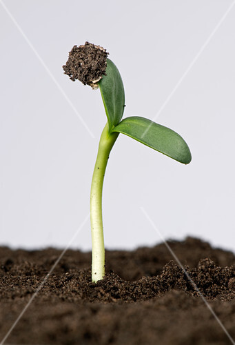 Sunflower seed germinating, 4 of 5