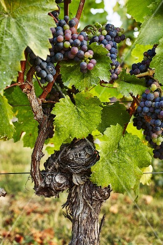 A vine with ripe red wine grapes