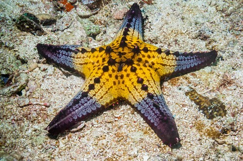 Pentaceraster cushion starfish