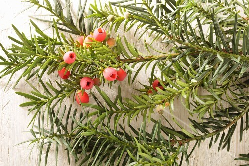 Yew branches with berries