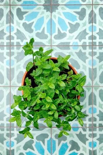 Marokkanische Minze im Blumentopf