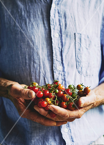 Freshly picked cherry tomatos in farmers hands