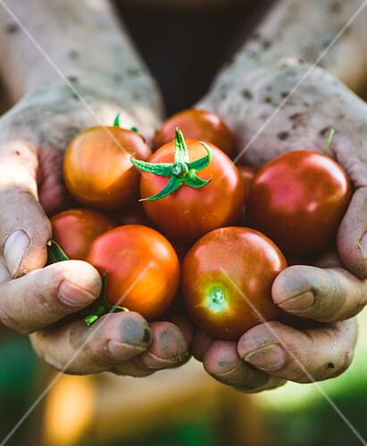 Bauernhände mit frisch geernteten Tomaten