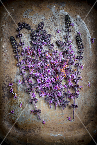 African basil lilac blossoms on a metal background