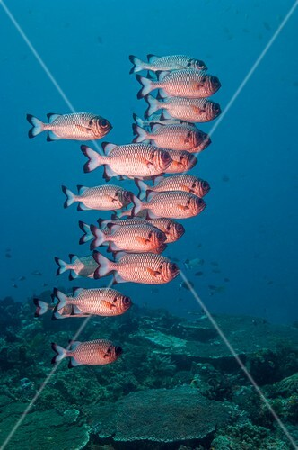 Shadowfin soldierfish over reef