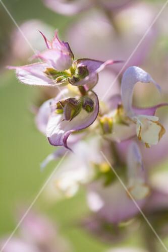 Flowering clary sage