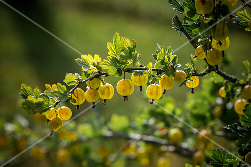 Ripe gooseberries on a bush