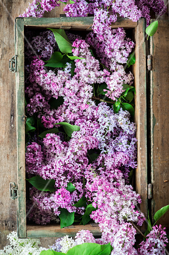 Lilacs in a crate