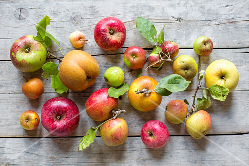 Fresh apples of different varieties harvested from an orchard