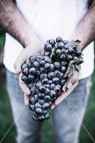 Hands holding bunch of ripe red grapes outdoors
